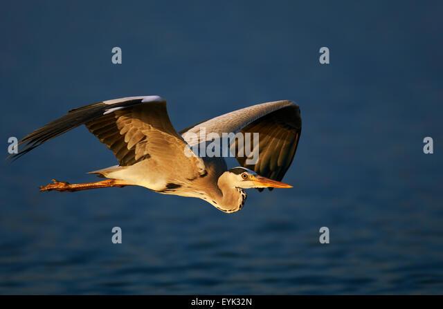 Grey heron (Ardea cinerea) flying low over blue water - Kruger National Park (South Africa) - Stock Image