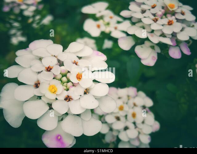 White candytufts iberis flowers - Stock Image