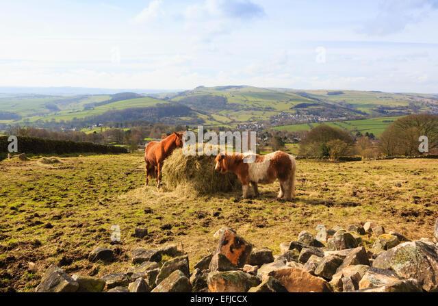 Pony's feeding under Curbar Edge, Peak District - Stock Image