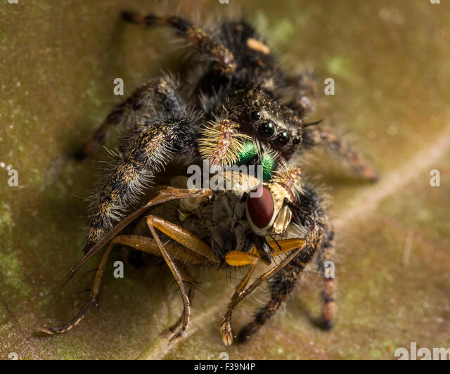 Black jumping spider with red dot - photo#49