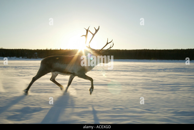 Reindeer (Rangifer tarandus) running on frozen river Finland - Stock Image