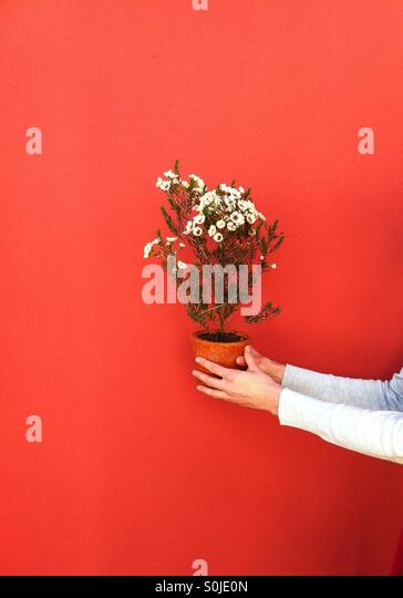 Closeup of hands holding flowers against a bright background - Stock Image