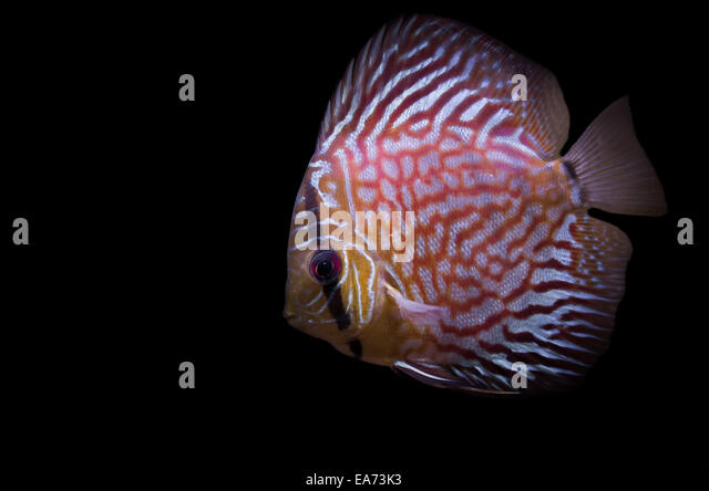 Red Pigeon Diskus Fish - Stock Image