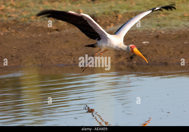 Yellow billed Stork flying over water - Stock Image