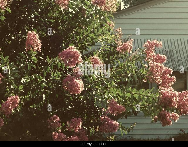 Soft, nostalgic pink Crepe Myrtle bush near pretty house - Stock Image