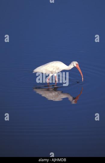 Birds white ibis - Stock Image