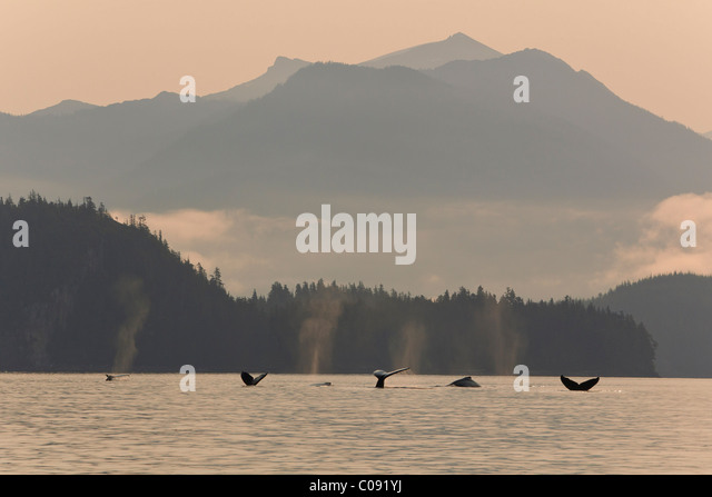 Humpback Whales lift their flukes as they return to the depths of Frederick Sound , Inside Passage, Alaska - Stock-Bilder