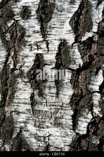 texture of birch bark, background - Stock-Bilder