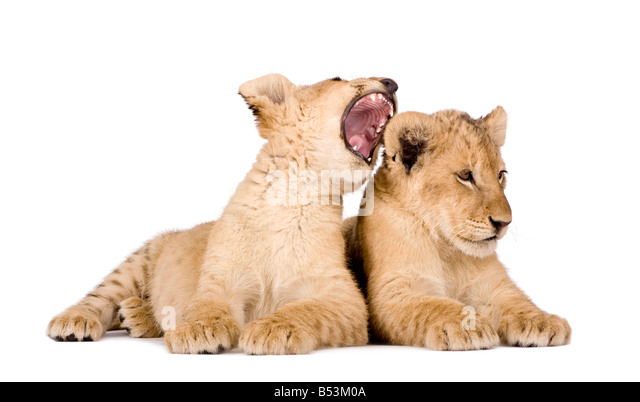 Lion Cubs 4 months in front of a white background - Stock Image