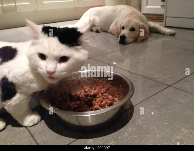 Black and white cat eats golden retrievers food from bowl - Stock Image