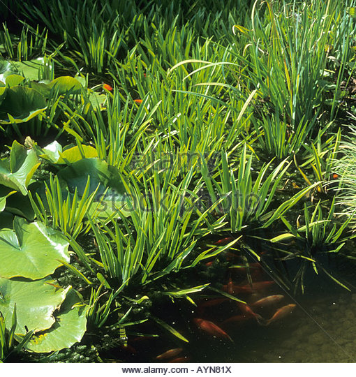 Water soldier stock photos water soldier stock images for Ornamental pond plants