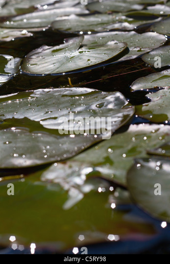 Austria, Vienna, View of water lily leaves on water - Stock Image