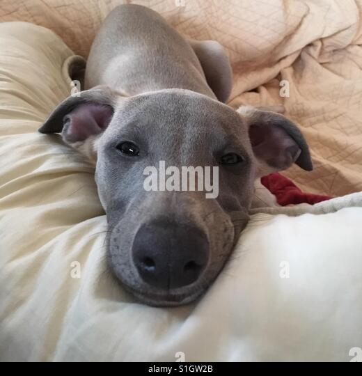 Female dog puppy whippet - Stock-Bilder