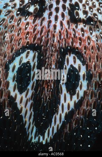 Spectacled cobra Naja naja Showing spectacle marking on back. Asia - Stock Image