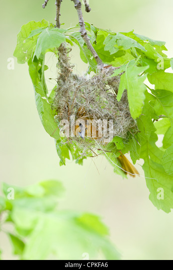 Female Baltimore Oriole Nest Building - vertical - Stock-Bilder