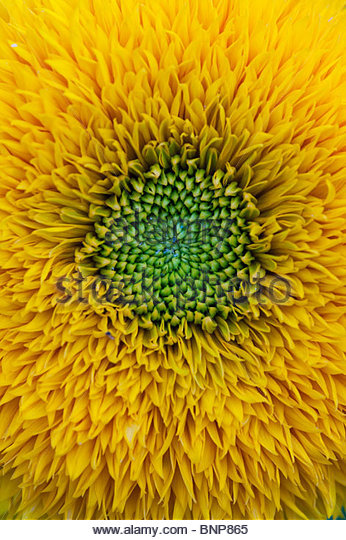 Helianthus annuus 'Teddy bear' flower. Dwarf Sunflower - Stock Image