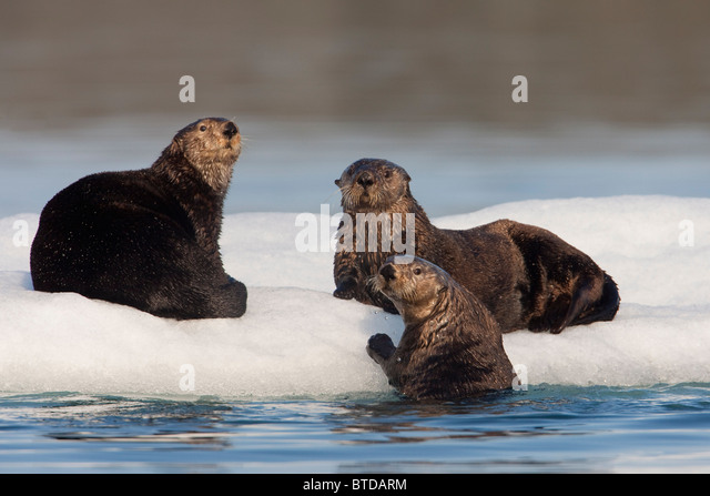 Group of Sea Otters hauled out on iceberg, Prince William Sound, Alaska, Southcentral, summer - Stock Image