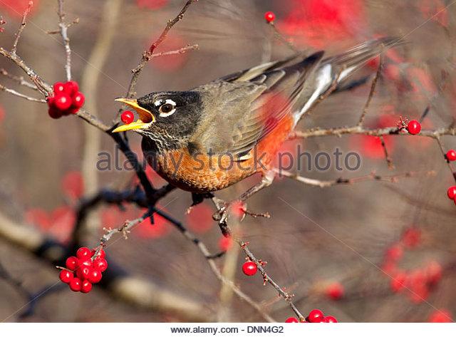 American Robin (Turdus migratorius) eats berries in Central Park, New York - Stock-Bilder