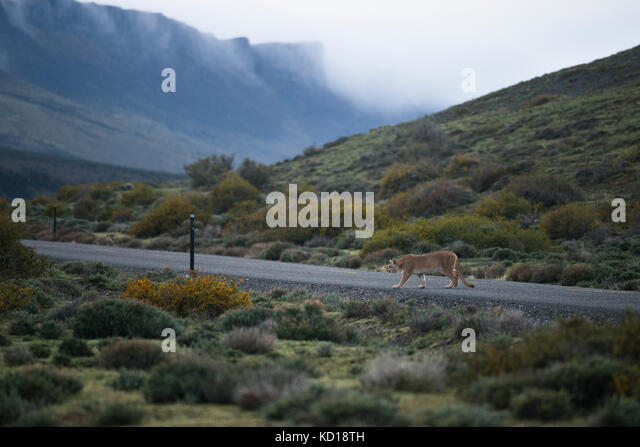 Puma crossing a paved road near Torres del Paine National Park, Chile - Stock Image