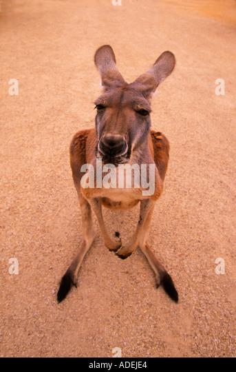 Pet kangaroo, Australia - Stock Image
