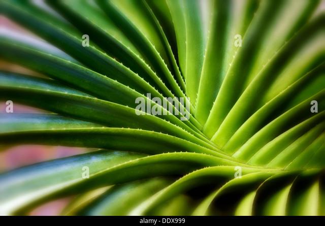 Swirling leaves of succulent plant. Bora Bora. French Polynesia. - Stock Image