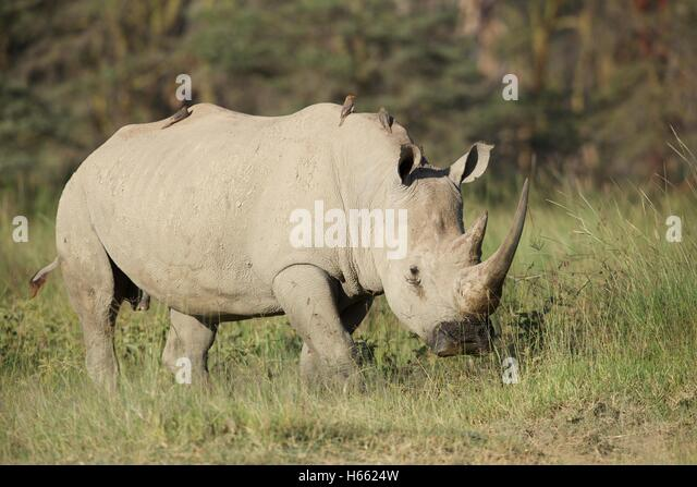 An endangered white rhino viewed on safari in Lake Nakuru, Kenya - Stock Image