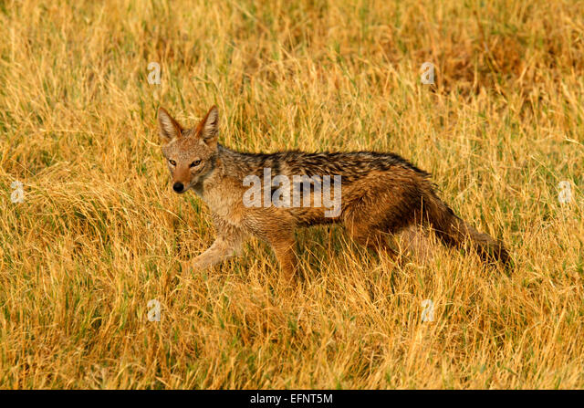 Black-backed Jackal in Africa's vast savanna plains. Jackals are very cunning omnivores also known as Silver - Stock Image