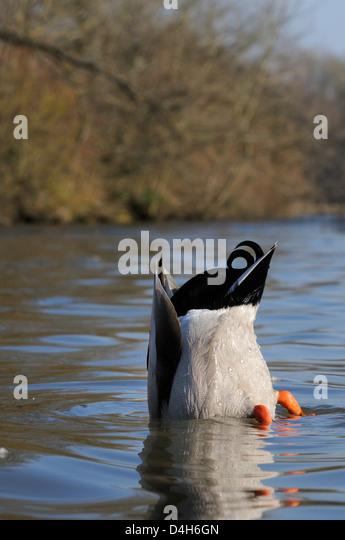 Mallard drake (Anas platyrhynchos) upended dabbling for food in lake, Wiltshire, England, UK - Stock Image