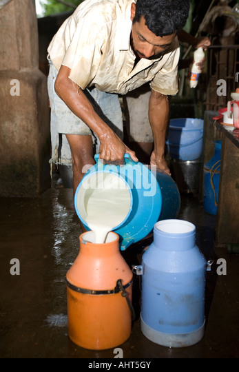 Migrant dairy workers collect milk yield after hand milking  cows in a small privately owned ecological dairy farm. - Stock Image