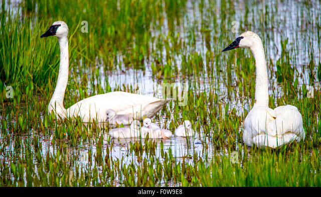 Trumpeter Swans and Cygnets swimming in Swan Lake, Island Park, Idaho - Stock Image