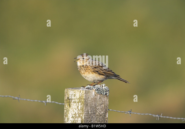Skylark Alauda arvensis singing from fence post on South Uist, Scotland in May. - Stock Image