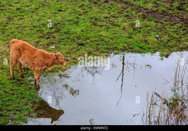 Calf standing next to a huge puddle on a pasture in the floodplains of the Ruhr river, Styrumer Ruhrbogen, Mülheim - Stock Image
