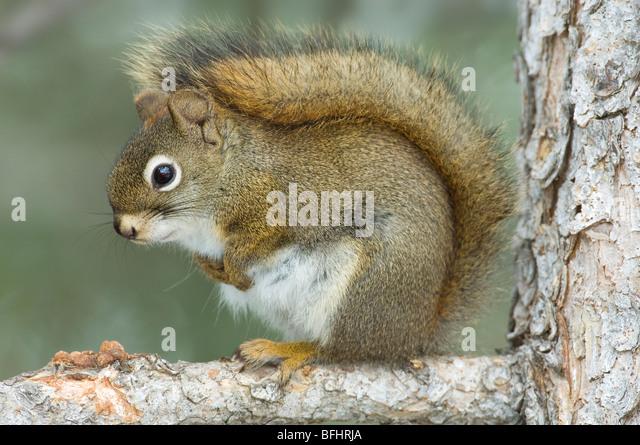 Red squirrel (Tamiasciurus hudsonicus) in winter pelage, western Alberta, Canada - Stock Image