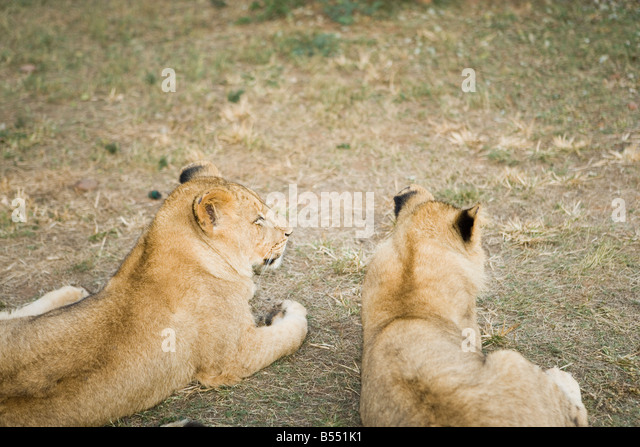 Lion cubs playing in the bush, Gauteng, South Africa - Stock Image