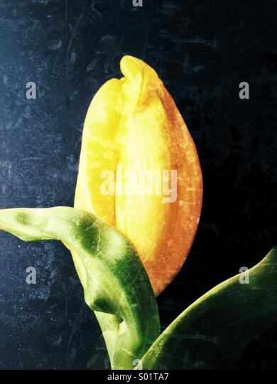 Yellow Tulip - Stock Image