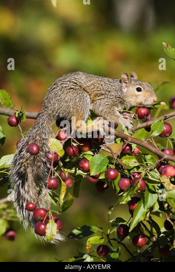 Eastern gray squirrel in a crab apple tree, in captivity, Minnesota Wildlife Connection, Sandstone, Minnesota, USA - Stock Image