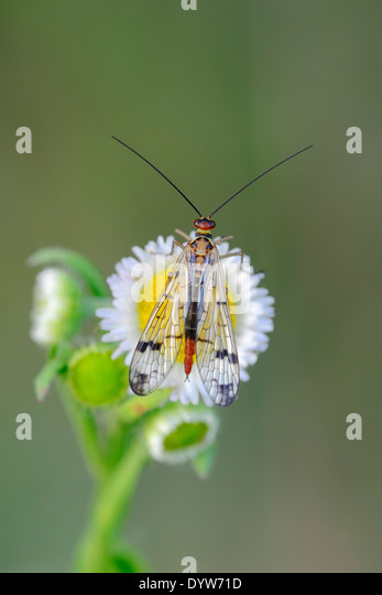 Common Scorpionfly or Scorpion Fly (Panoropa communis), female, North Rhine-Westphalia, Germany - Stock Image