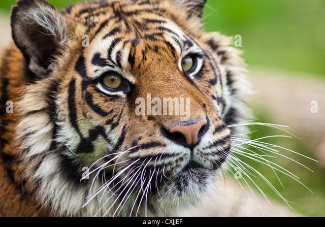 Tiger (Panthera tigris) close portrait - Stock Image
