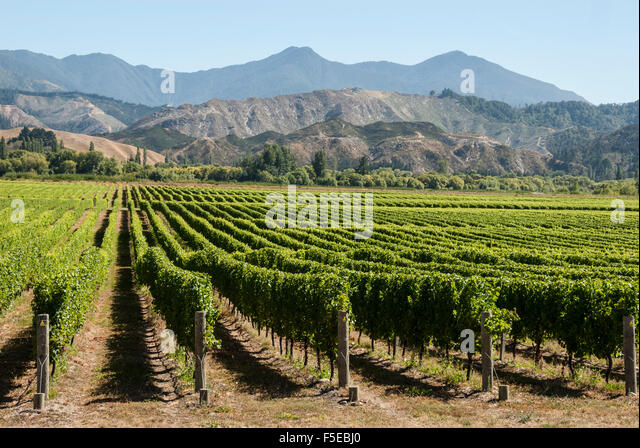 Wairau Valley vineyards, Blenheim, South Island, New Zealand, Pacific - Stock Image