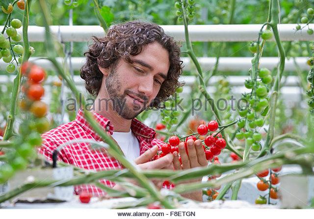 Grower examining ripe red vine tomatoes - Stock Image