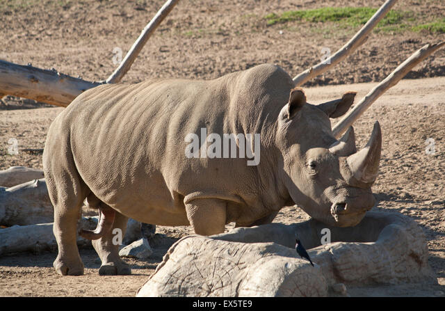 A rhino drinking from a water trough - Stock Image