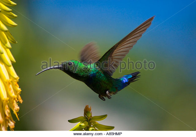 Hummingbird in flight, St Lucia, Windward Islands, Caribbean - Stock-Bilder