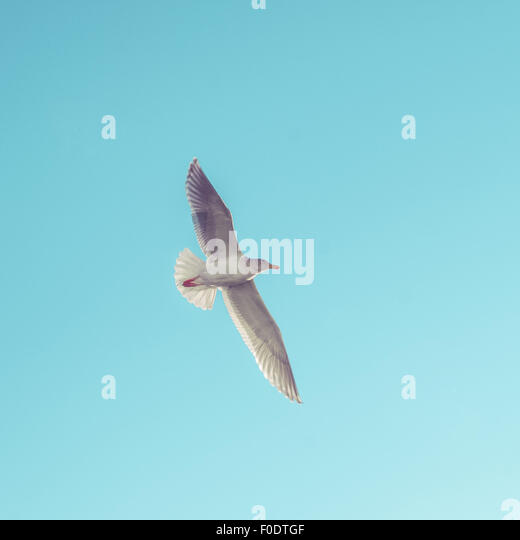 A Western Gull, (Larus Occidentalis) in flight. - Stock Image