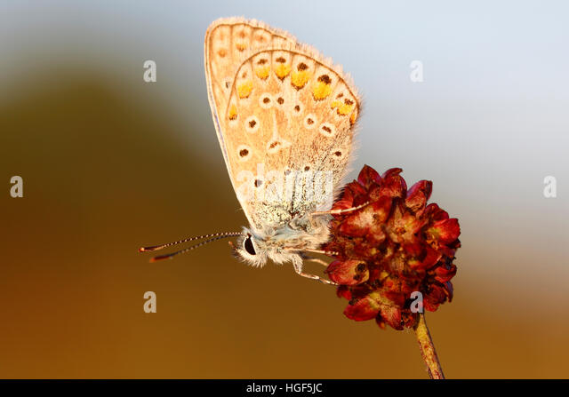 Common Blue (Polyommatus icarus) butterfly on a great burnet (Sanguisorba officinalis), Middle Elbe Biosphere Reserve, - Stock Image