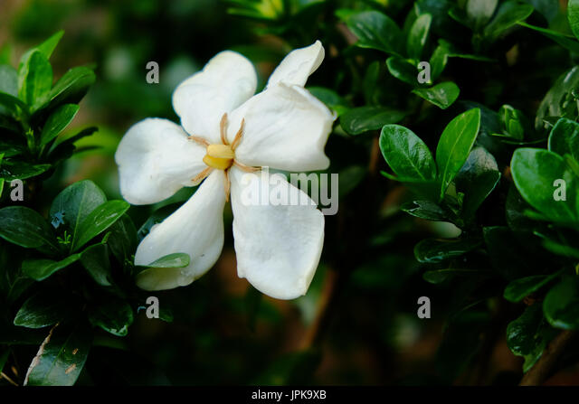 A single white gardenia flower in full bloom set against the dark green foliage of the bush. - Stock Image