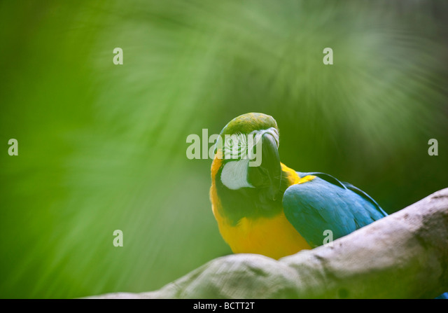 Macaw through vegetation Grand Hyatt Kauai Hawaii - Stock Image