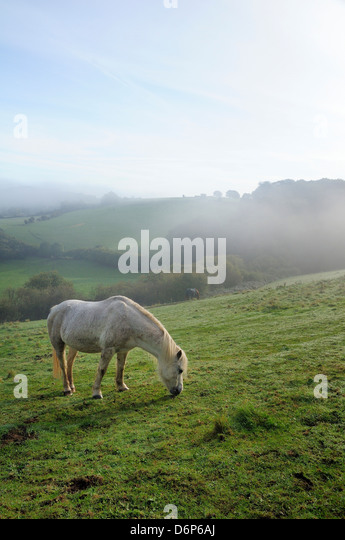 Welsh mountain pony (Equus caballus) grazing a hillside meadow on a foggy autumn morning, Box, Wiltshire, England, - Stock Image
