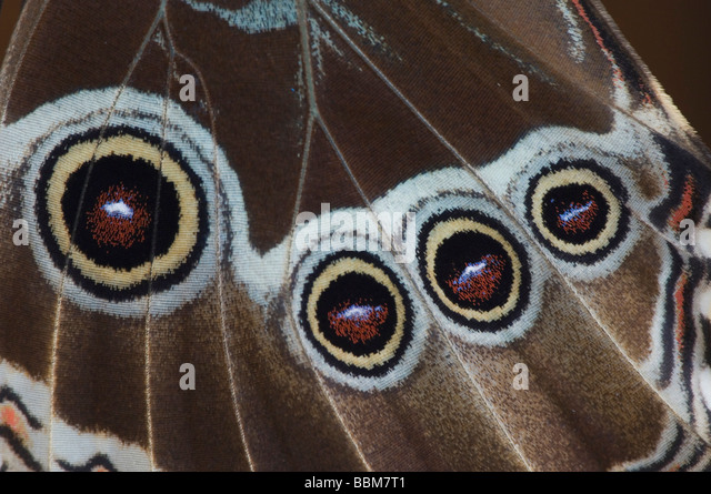 Blue Morpho Morpho menelaus adult  emerged from pupa captive La Paz Waterfall Gardens Central Valley Costa Rica - Stock Image
