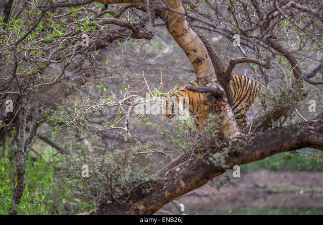 bengal tiger around 13 months old climbing trees at ranthambhore