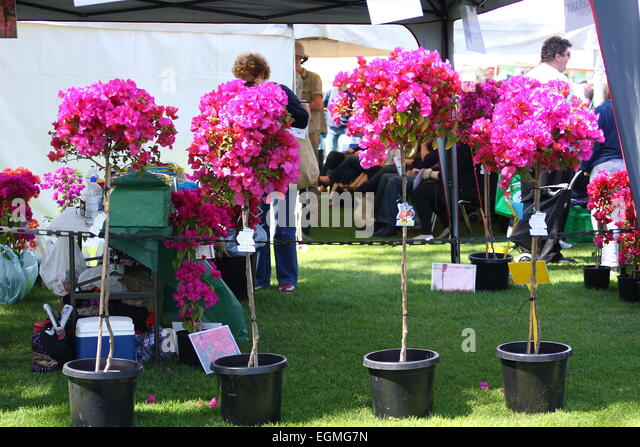 Potted Bougainvillea Stock Photos Amp Potted Bougainvillea